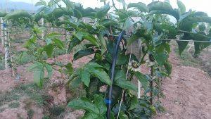 百香果苗如何移栽定植,细节决定成败