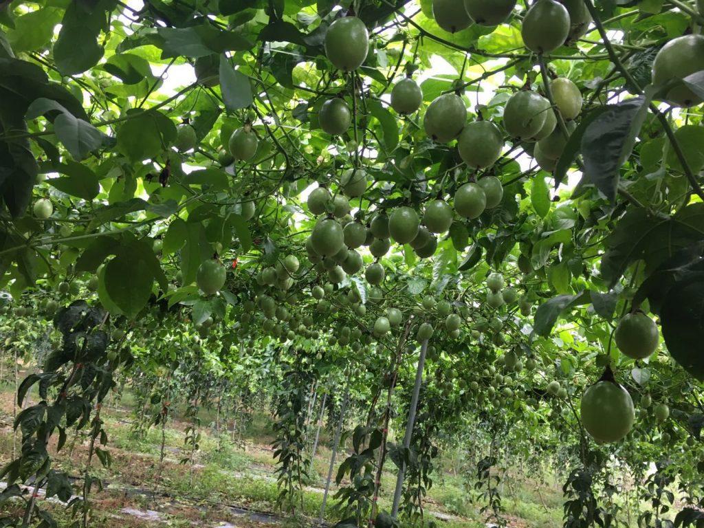 曝光,专家指导用肥,结果1000亩百香果园惨遭肥害