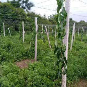 百香果园连续两年遇贼,被砍盗百香果大苗,已达三百多株