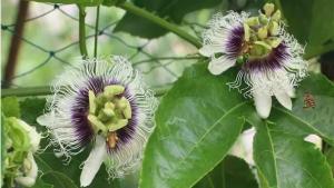 百香果花期,打药对蜜蜂授粉有影响吗