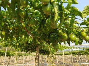 百香果的种植前景如何,果农的出路在哪里