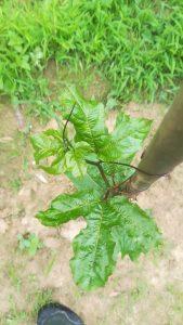 百香果芽头有点萎缩,还有螨虫的样子