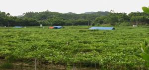 广西百香果批发市场