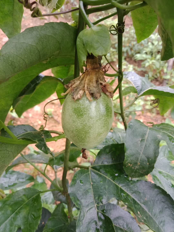 百香果苗氮肥超标治疗方法