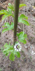 下雨天百香果抹芽容易感染真菌和病毒