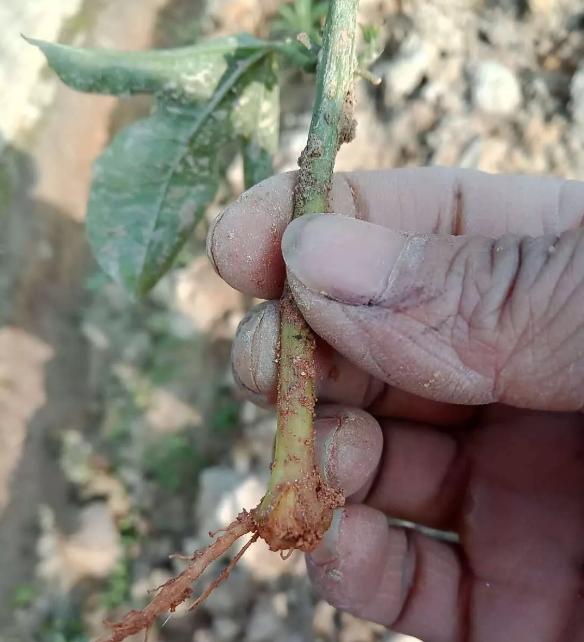 15元一株的百香果苗,种了一个月却不见长,说好的技术指导呢