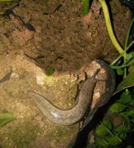 近期阴雨天气增多,百香果园谨防蜗牛、蛞蝓危害
