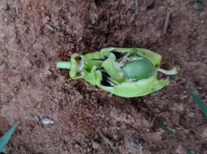要想种好百香果,这些甲虫不可忽视