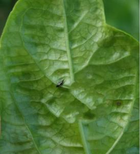 百香果蓟马病怎么办,百香果蓟马危害叶子图片