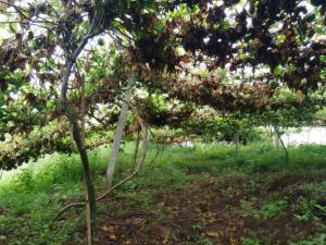 未来百香果前景好,为什么百香果种植很多人亏了