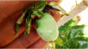 百香果皱果,为什么皱的都是果子
