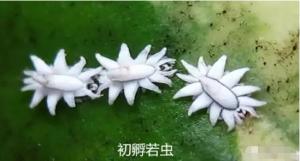 百香果龟蜡蚧怎么治,龟蜡蚧如何进行药物防治
