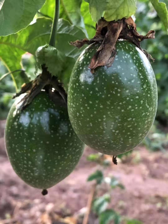 种植百香果人的这5大特征,你中招几个