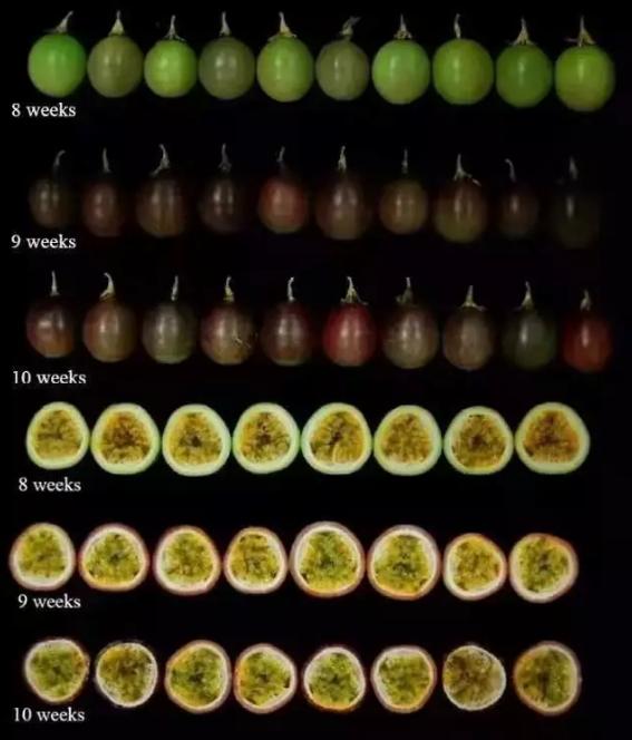 坐果之后,怎么保证百香果的高品质