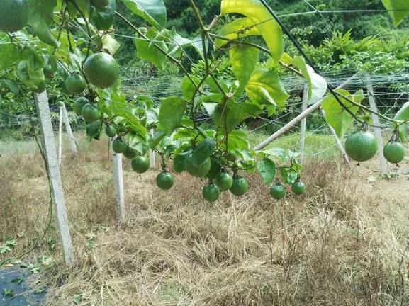百香果几年换一次苗,百香果寿命有几年