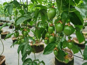 新手怎么种植黄百香果