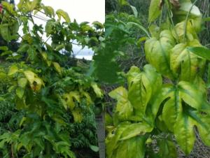 气温骤降,对百香果园会有哪些影响