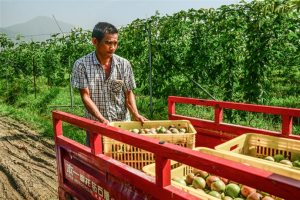 广西北流加快发展百香果产业助力脱贫攻坚