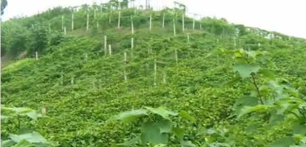 四川内江东兴区的百香果园,第一年产值就达到了60万元