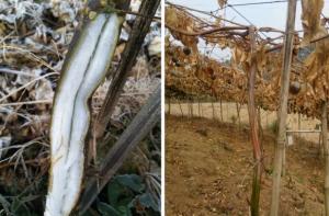霜冻地区种植百香果的思考,如何减损