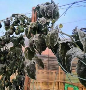 雪上加霜,多地百香果园受霜冻灾害,种植户太难了