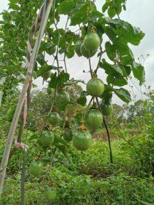广东百香果什么时候成熟广东百香果一年结果几次
