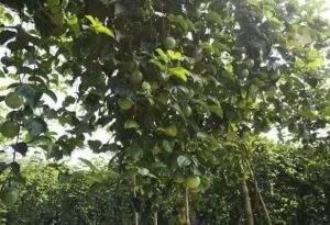 百香果产量低的原因,怎样提高百香果产量