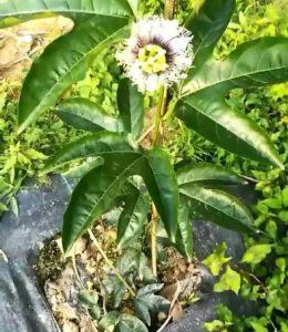 百香果苗期上棚前,开花可以留果吗