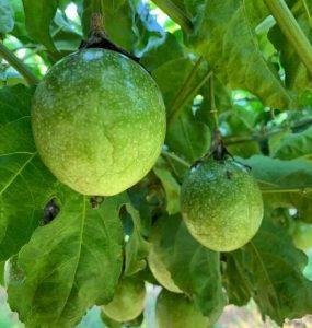 连续高温干旱天气对百香果造成不良影响