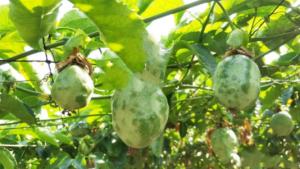 百香果病毒病小心全园感染变次果