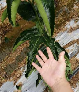 讲解百香果树徒长和旺长,相应的调节措施有哪些