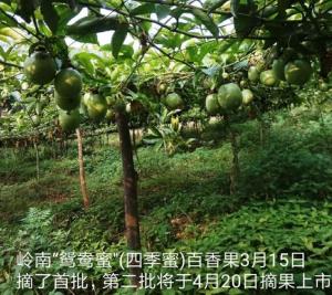 百香果新品鸳鸯蜜栽培成功